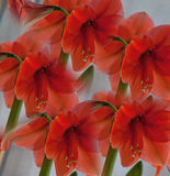 Ring of Red Amaryllis Royalty Free Stock Image