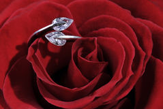 Ring in rose. Ring in the heart of the rose flower stock images