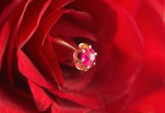 Ring with ruby in red rose Royalty Free Stock Images
