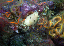 Ring-spotted Dorid and colorful Spiny Brittle Stars. Ring-spotted Dorid nudibranch surrounded by colorful Spiny Brittle Stars found off of central California's royalty free stock photo