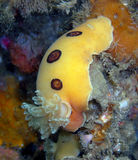 Ring-spotted Dorid. Found off of central California's Channel Islands stock images