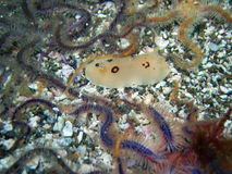 Ring-spotted Dorid surrounded by Spiny Brittle Stars. Ring-spotted Dorid nudibranch surrounded by Spiny Brittle Stars found off of central California's Channel stock photography