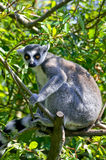 Ring tail lemur. At a tree Royalty Free Stock Photography