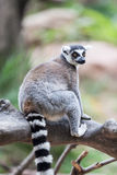 Ring Tail Lemur Royalty Free Stock Photography