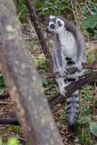 Ring Tail Lemur On The-Ausblick Lizenzfreie Stockfotografie