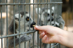 Ring-tail Lemur feed time Stock Photos