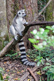 Ring Tail Lemur que relaxa foto de stock royalty free