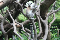 Ring tail lemur Royalty Free Stock Photo