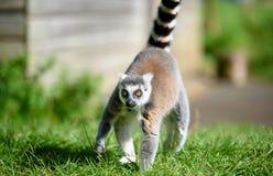 Ring tail lemur walking towards you Stock Images