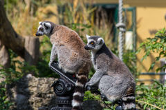 Ring Tail Limas sammanträde på ett kamerastativ Fotografering för Bildbyråer