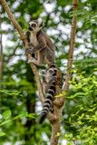 Ring tail makie in the tree royalty free stock photos