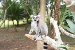 Ring-tailed catta lemur Royalty Free Stock Photography