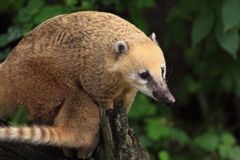 Ring-tailed coati. The ring-tailed coati on the wood stub Stock Photo