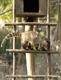 Ring-tailed Coati Stock Photos