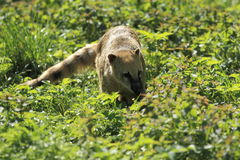 Ring-tailed coati Stock Images
