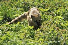 Ring-tailed coati Stock Images