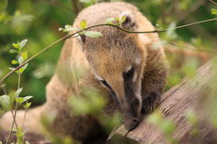 Ring-tailed coati Royalty Free Stock Photo