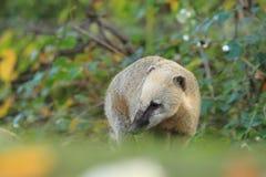 Ring-tailed coati Stock Photos