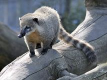 Ring-tailed Coati auf Zweig Stockfotos