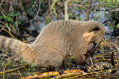 Ring-tailed Coati eating a turtle Stock Photos