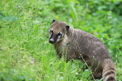 Ring-tailed coati Stock Photo