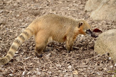 Ring-tailed Coati on ground Stock Photo
