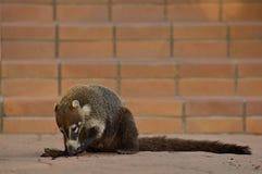 Ring-tailed Coati (Nasua nasua). Ring-tailed Coati (Nasua nasua), acting as a scavanger while eating a cupcake Royalty Free Stock Photography