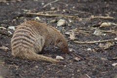 Ring-tailed Coati - Nasua nasua Stock Image