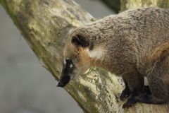 Ring-tailed Coati - Nasua nasua Stock Photo
