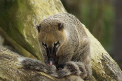 Ring-tailed Coati - Nasua nasua Royalty Free Stock Image