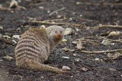 Ring-tailed Coati - Nasua nasua Royalty Free Stock Photography