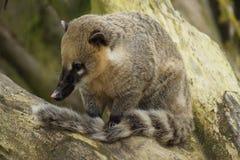 Ring-tailed Coati - Nasua nasua Stock Photos