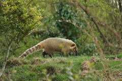 Ring-tailed Coati - Nasua nasua Royalty Free Stock Photography