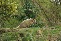 Ring-tailed Coati - Nasua nasua Royalty Free Stock Photos