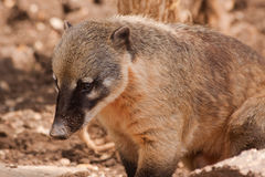 Ring tailed coati Royalty Free Stock Photography