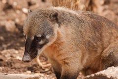 Ring tailed coati Royalty Free Stock Photography