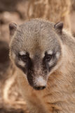 Ring tailed coati Royalty Free Stock Images