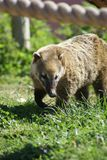 Coati. Ring tailed Coati on the prowl Royalty Free Stock Photo