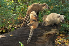 Ring-tailed coatis Stock Images