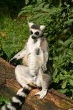 Ring-tailed ein Sonnenbad nehmender Lemur Stockbilder
