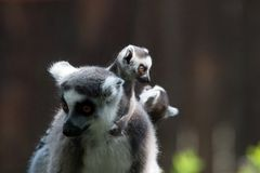 Ring tailed female lemur with baby on back Stock Photos