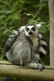Ring Tailed Leamur foto de stock royalty free