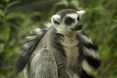 Ring Tailed Leamur Close Up imagem de stock