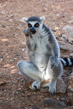 Ring Tailed Lemour Sitting and Eating. Ring Tailed Lemour Sitting in a human-like posture and Eating stock photography