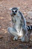 Ring Tailed Lemour Sitting och äta Arkivbild