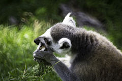 Ring-Tailed Lemu. Wildlife Ring-Tailed Lemur (Lemur catta Royalty Free Stock Images