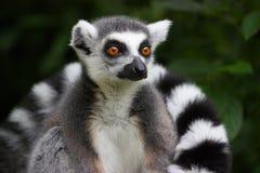 Ring tailed lemur Royalty Free Stock Photo