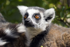 Ring Tailed Lemur Stock Image