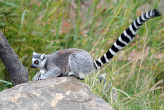 Ring-tailed Lemur. Picture of a beautiful Ring-tailed Lemur from Madagascar Royalty Free Stock Image