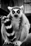 Ring-tailed lemur   Arkivfoto
